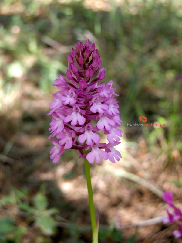 2019/11/1-kilo-salep-tozu-icin-1000-orkide-katlediliyor-1c1773e0ee44-2.jpg