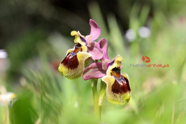 2019/11/1-kilo-salep-tozu-icin-1000-orkide-katlediliyor-1c1773e0ee44-4.jpg