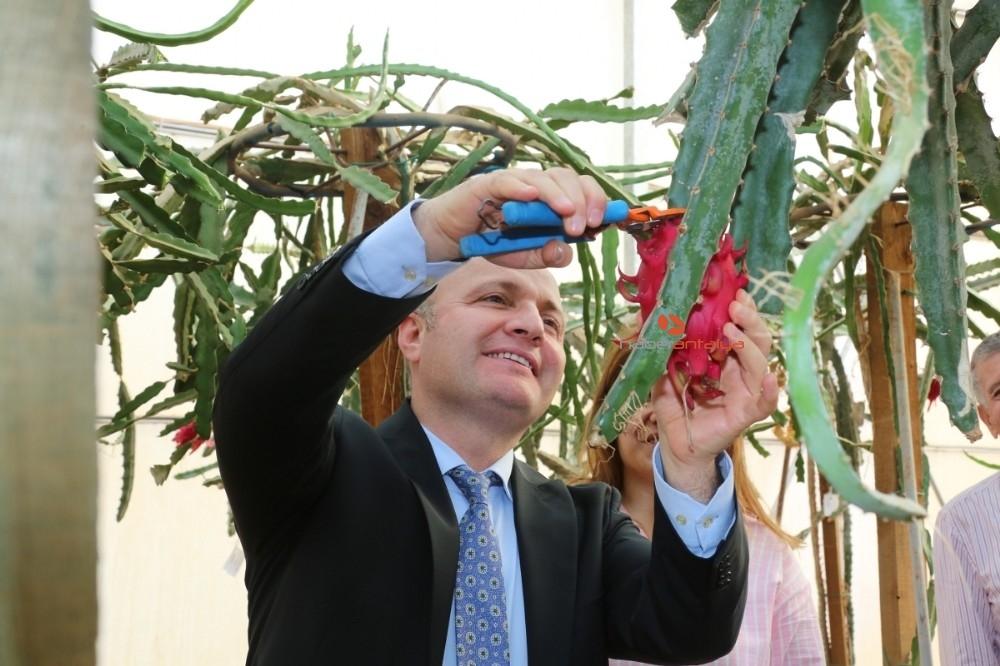 2019/11/akdeniz-universitesi-ziraat-fakultesinde-tropik-meyve-hasadi-20191113AW85-1.jpg