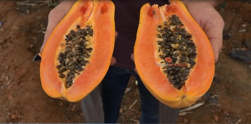 2019/11/okudugu-yalniz-ada-filmlerinde-etkilenip-papaya-uretimine-basladi-20191114AW85-3.jpg