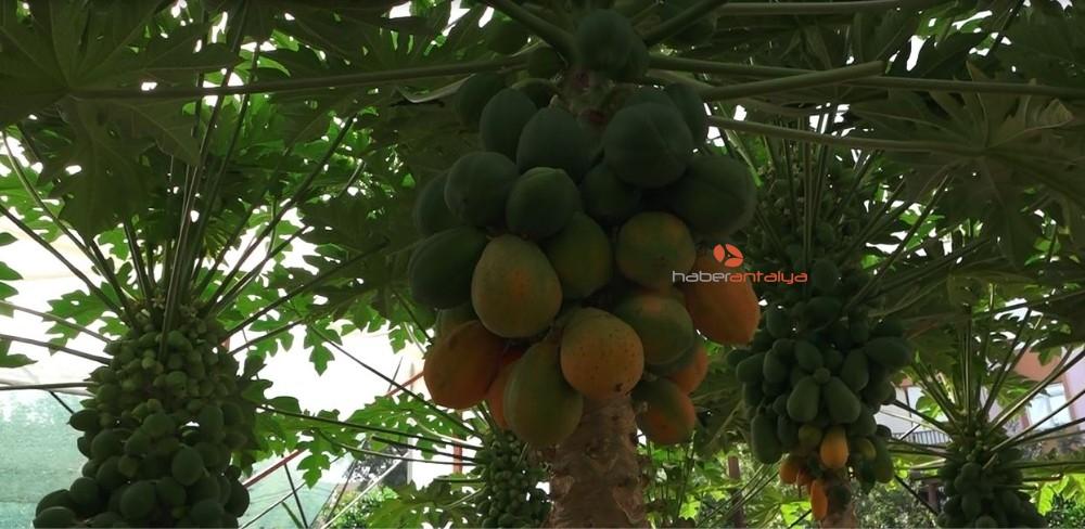 2019/11/okudugu-yalniz-ada-filmlerinde-etkilenip-papaya-uretimine-basladi-20191114AW85-4.jpg