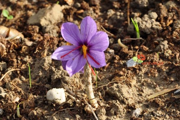 2019/12/antalyada-safran-ve-salep-bitkisi-yetistirildi-568f2f97188e-3.jpg