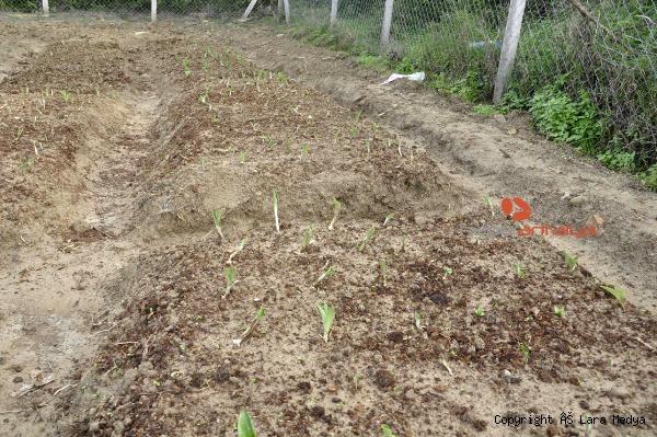 2019/12/antalyada-safran-ve-salep-bitkisi-yetistirildi-568f2f97188e-5.jpg
