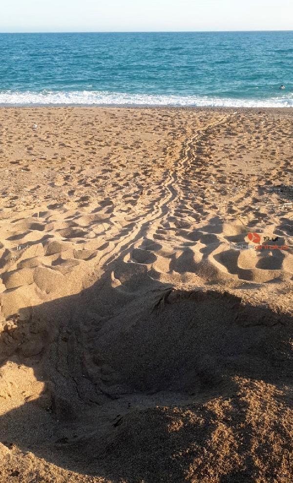2020/06/sahildeki-deniz-kaplumbagasi-yuvalarinin-uzerinden-traktorle-gectiler-a7e94ca4de2c-3.jpg