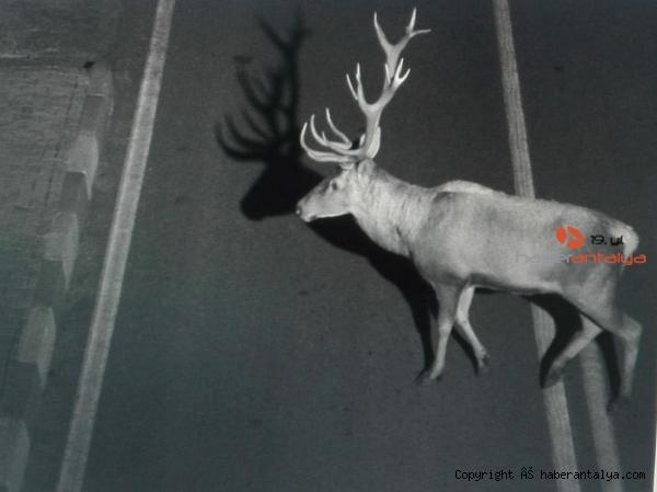 2020/08/bu-geyik-tescilsiz-geyik--a3800137119f-1.jpg