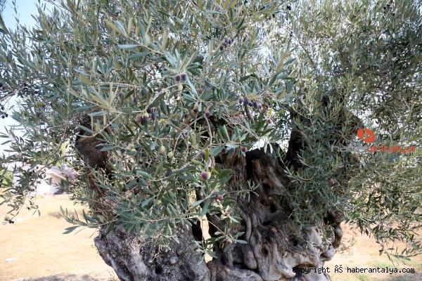 2020/09/1204-yasindaki-zeytin-agaci-meyve-veriyor-ee8387b4ee38-5.jpg