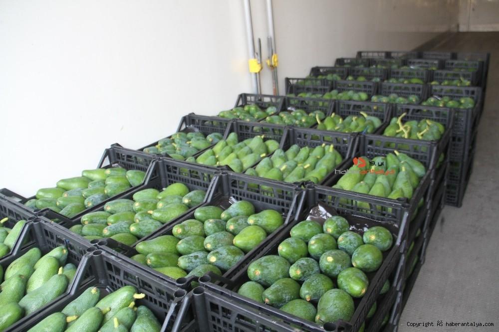 2020/09/alanyadan-bulgaristana-3-ton-avokado-ihracati-20200917AW11-3.jpg