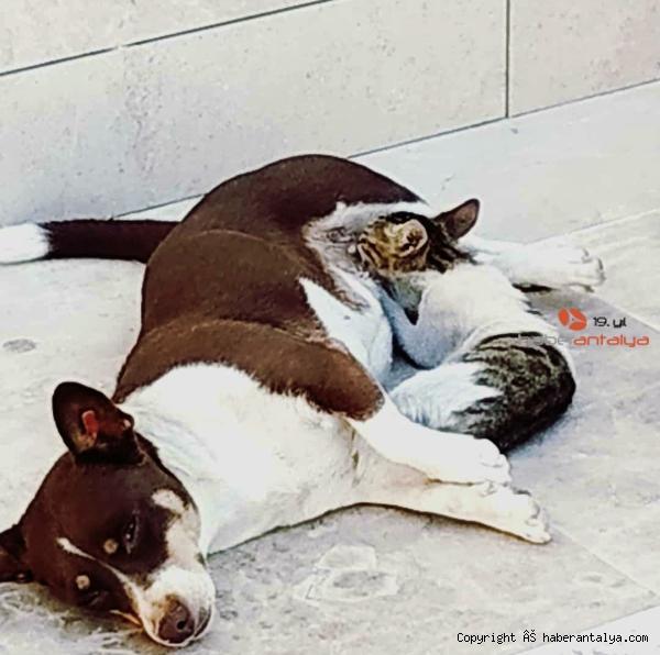 2020/09/kopek-max-uc-yavru-kediyi-emziriyor-6ff7a5023097-4.jpg