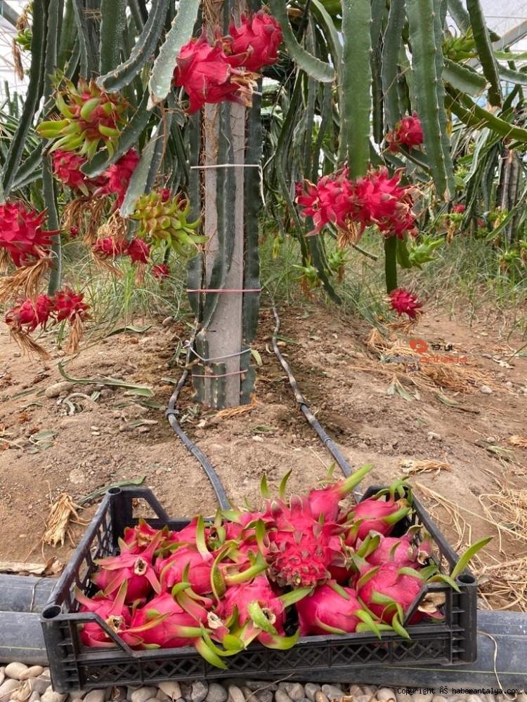 2020/09/tropikal-meyvenin-yeni-gozdesi-aksu-20200917AW11-4.jpg