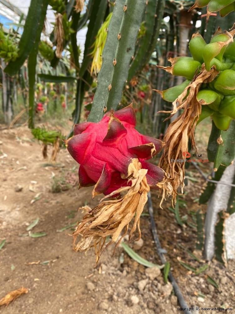 2020/09/tropikal-meyvenin-yeni-gozdesi-aksu-20200917AW11-8.jpg