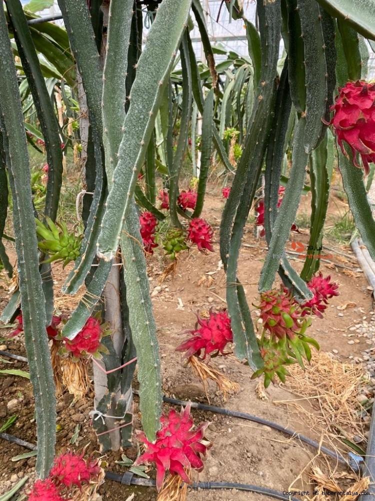 2020/09/tropikal-meyvenin-yeni-gozdesi-aksu-20200917AW11-9.jpg