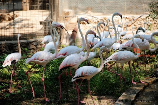 2021/07/hayvanat-bahcesinin-misafirleri-flamingolar-4457d420d98d-2.jpg