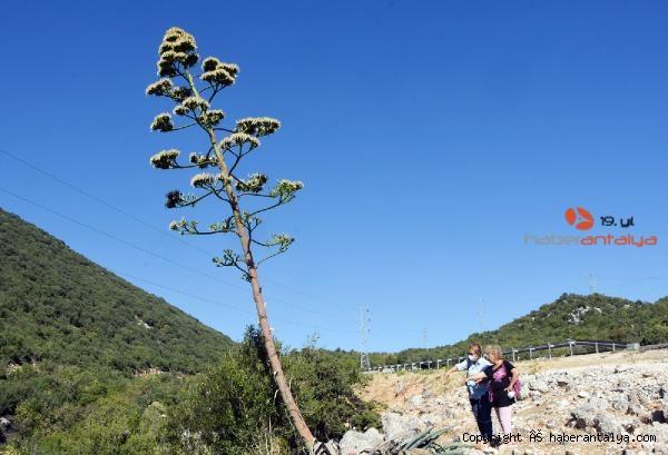 2021/09/agave-agaci-cicek-acti-olumunu-bekliyor--5cd36e41260d-1.jpg
