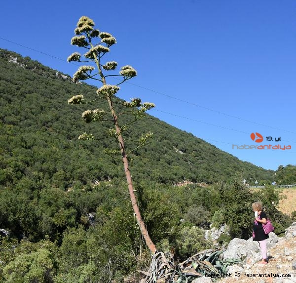 2021/09/agave-agaci-cicek-acti-olumunu-bekliyor--5cd36e41260d-2.jpg