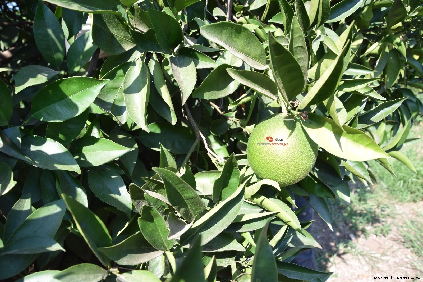 2021/09/akdeniz-meyve-sineginin-vurdugu-portakallar-denetim-altinda--20210914AW41-2.jpg