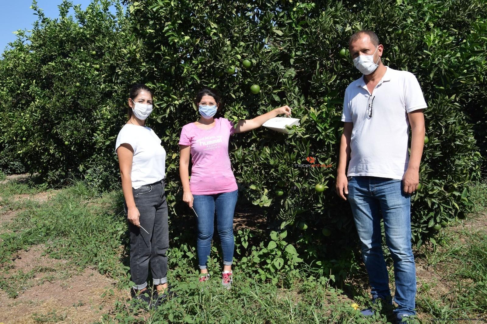 2021/09/akdeniz-meyve-sineginin-vurdugu-portakallar-denetim-altinda--20210914AW41-7.jpg