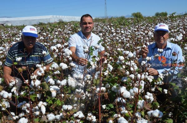 2021/09/beyaz-altin-pamukta-hasat-basladi-bakin-fiyati-ne-kadar--ba452b8d3850-1.jpg