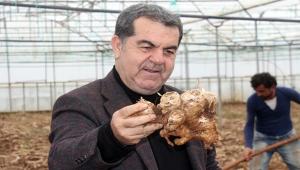 Gazipaşa'da yerli zencefil hasadı başladı