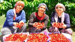 Kilosu 30 liraya satılan kirazda hasat