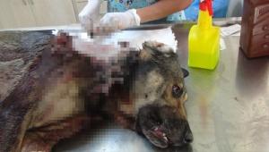 Sokak köpeğine domuz kurşunu