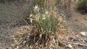 Alanya'da koruma altındaki kum zambakları ilgisiz kaldı