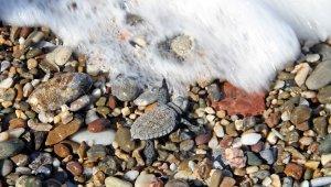 Alanya'da onlarca caretta caretta mavi sularla buluştu