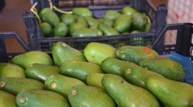 Alanya'dan Ukrayna'ya avokado ihracatı