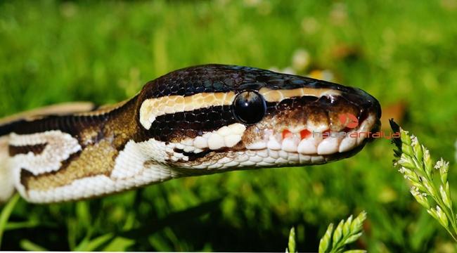 Antalya otogarında valiz içinde Boa yılanı ele geçirild