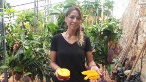 Gazipaşa'da mango hasadı