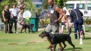 Irk köpekler, Antalya'da yarışıyor