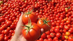 Korkuteli'nin yaylalarından Suudi Arabistan'a domates