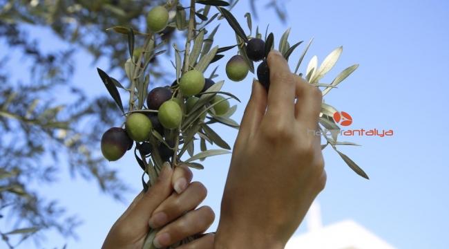 6 asırlık anıt ağaç koruma altındaki ilk meyve verdi