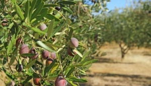 Zeytin ağacı katliamı