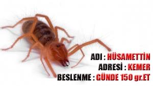 Et yiyen örümceğin adını Hüsamettin koydular,