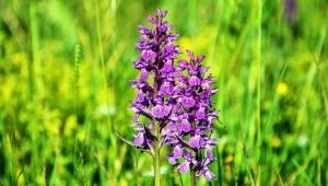'1 kilo salep tozu için 1000 orkide katlediliyor'