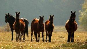 Yılkı atları, doğal ortamında görüntülendi