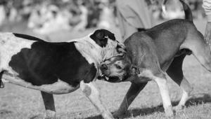 Antalya'da yasa dışı köpek dövüşüne baskın