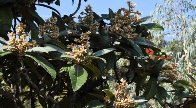 Antalya'da ağaçlar çiçek açtı