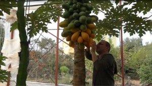 Okuduğu yalnız ada filmlerinde etkilenip papaya üretimine başladı