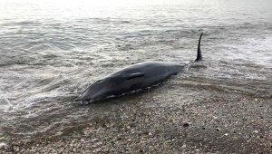 Prof. Dr. Gökoğlu: Askeri tatbikat nedeniyle balinalar yönünü şaşırdı