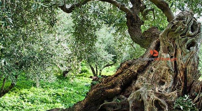 Zeytin ağacından düşerek can verdi