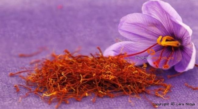 Antalya'da safran ve salep bitkisi yetiştirildi