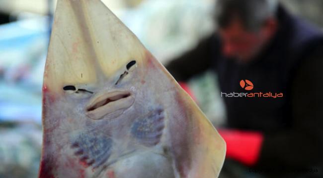 Kendileri Tehdit Altındalar: İnsan Yüzlü Saban Balığı