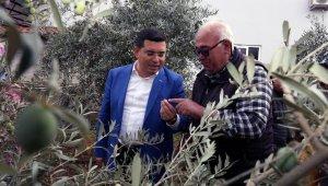 Tütüncü'den zeytin hasatı