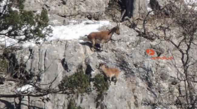 Dik yamaçta kurt ve yaban keçisi kardeşliği