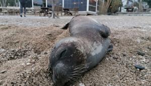 Nesli tükenen Akdeniz foku ölü bulundu