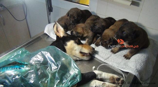 Viçdansızların vurduğu sokak köpeği sağlığına kavuştu yeni sahiplerini bekliyor