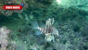 Dünyanın en zehirli balığını kaydetti