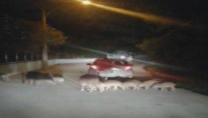 Şehre inen yaban domuzlarını elleri ile beslediler
