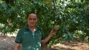 Antalya'da kalp şeklinde armuda yoğun ilgi